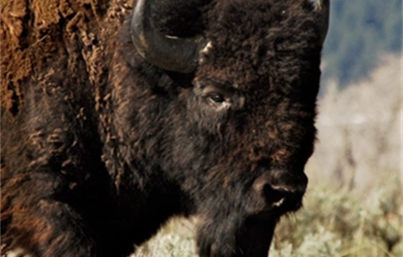 Julie Larsen Maher_5811_American Bison in wild_YELL_05 05 06_hr